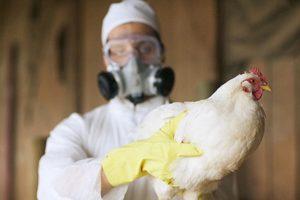 врач с курицей в руках