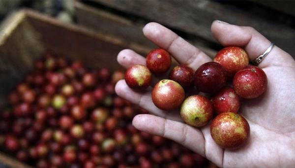 ягоды каму-каму